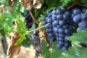 Szép szőlő oltvány